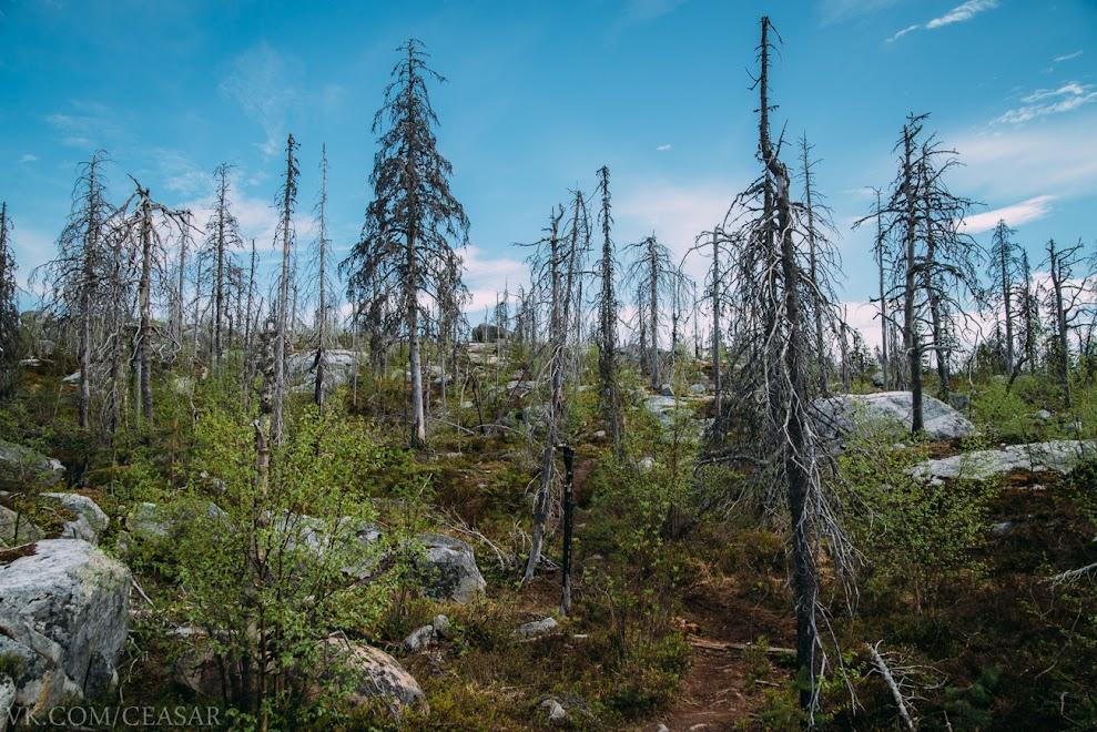 Воттоваара, мертвый лес