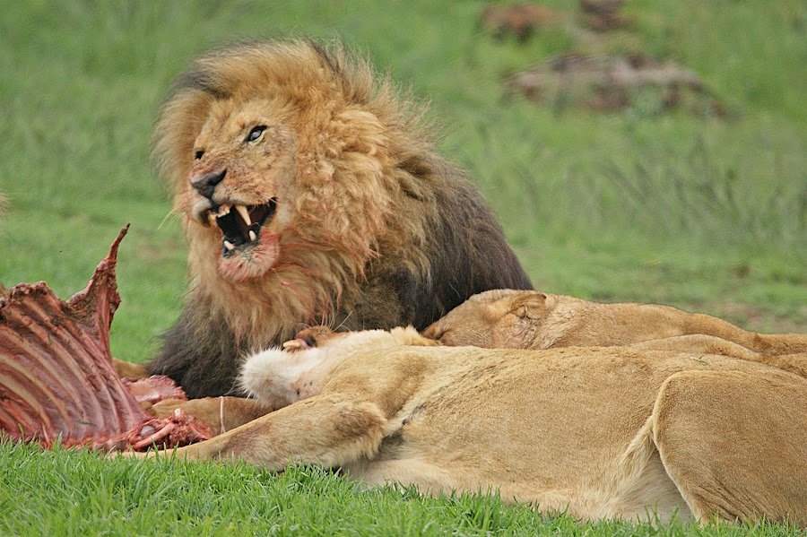 lunchtime... by Charmane Baleiza - Animals Lions, Tigers & Big Cats