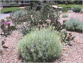 Photo: Plantă curry (Helichrysum italicum) - info de pe net http://davesgarden.com/guides/pf/showimage/248075/#b  album: http://ana-maria-catalina.blogspot.ro/2017/02/planta-curry-helichrysum-italicum.html