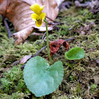 Round-leaved Yellow Violet
