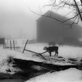 West Virginia Winter Morning No. 2 by Irv Freedman - Landscapes Weather ( berkeley county, fence, stream, winter, west virginia, fog, steer, sheds, trees, barns, morning, cows )