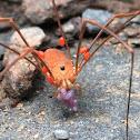 Harvestman w/ parasitic mites