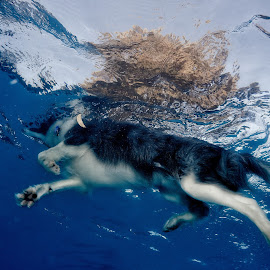 Swimming dog from below by Brett Styles - Animals - Dogs Playing ( swimming, pool, dog, water,  )