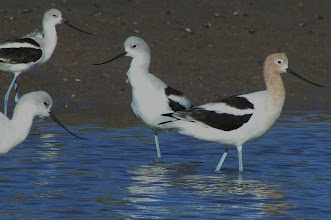 Photo: American avocets