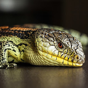 by I Snapit - Animals Reptiles ( lizard, blue tongue,  )