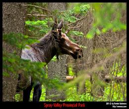 Photo: Spray Valley Provincial Park: alce macho joven entre el bosque.