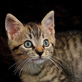 by Susan Hogan - Animals - Cats Kittens