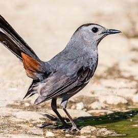 Catbird by Carl Albro - Animals Birds ( catbird, bird, puddle )