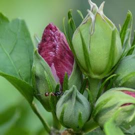 Flower Buds by Ray Ebersole - Flowers Flower Buds (  )