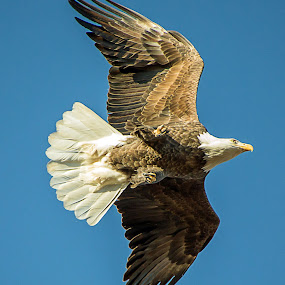Eagle Over Head by Jay Stout - Animals Birds (  )