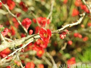 Photo: 拍攝地點: 梅峰-一平臺  拍攝植物: 貼梗海棠  拍攝日期:2012_03_02_FY