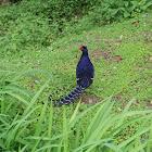 帝雉 (Mikado pheasant)