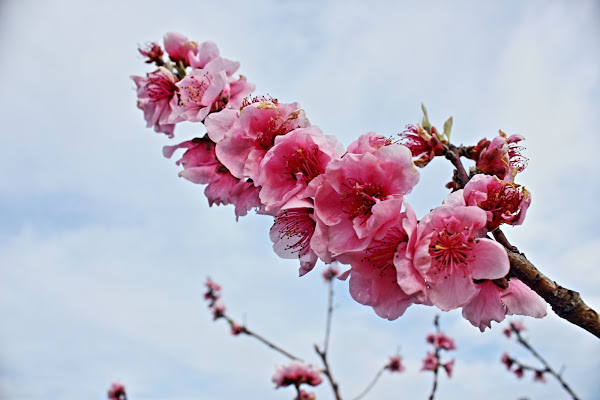 Fiori Rosa ... fiori di Pesco di ariosa