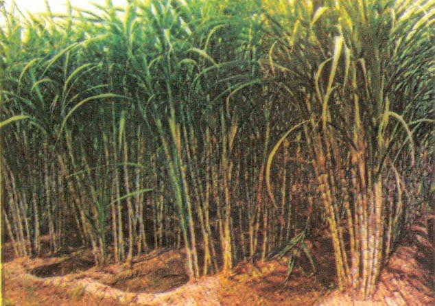 Food Crops Other Than Grains of Agriculture