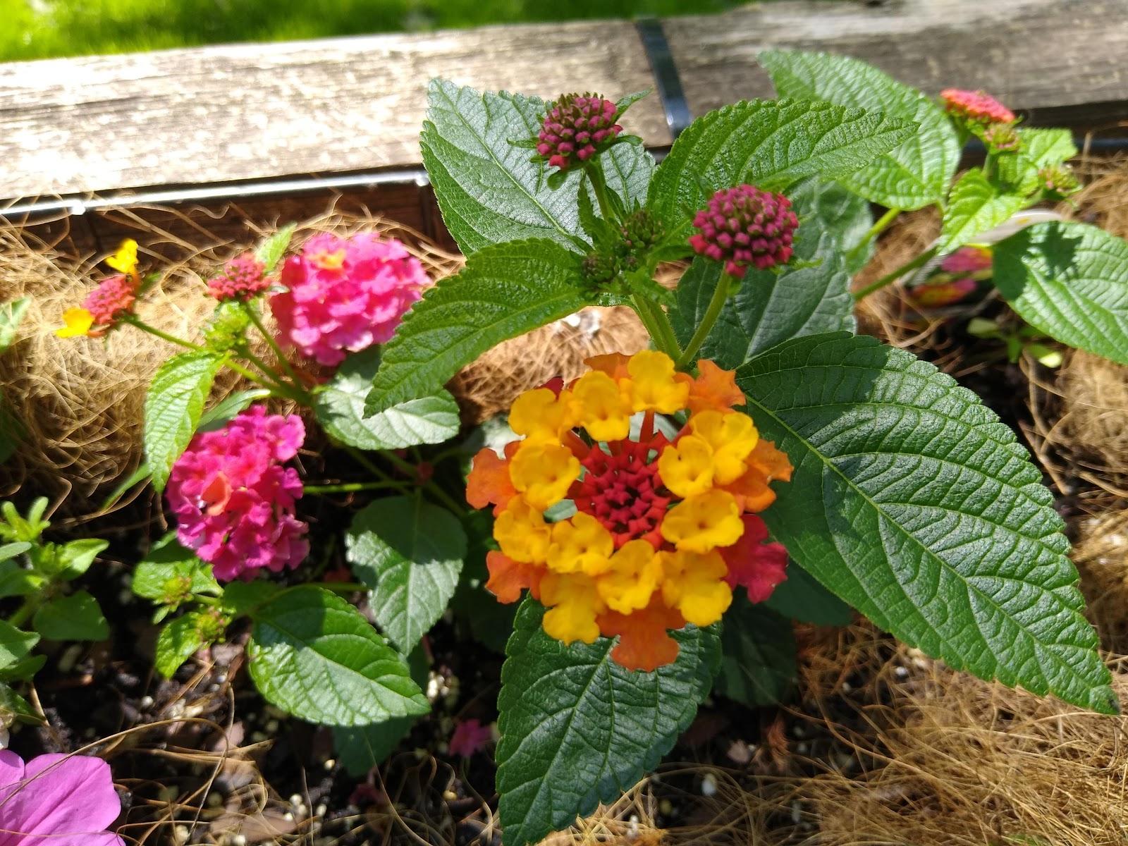 pink, yellow and orange lantanas