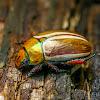 Christmas Beetle