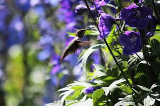 Photo: Butchart Gardens - Kolibri