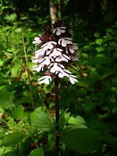 Photo: ... Orchis vanillé...