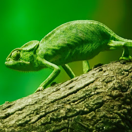 green by Rs Photography - Animals Reptiles ( digital, lovely, art, wallpaper, large, mobile, screen, wallpapers, best, prints, cover, 3d, beautiful, awesome, desktop, background, newart, fullhd, hd, latest )