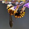Wool carder bee; Abeja cortadora de hojas