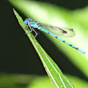 Damselfly or Libélula
