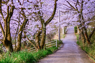 Photo: Cherry Blossoms along a mountain side path in Okayama Prefecture, Japan