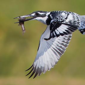 Pied KF by Francois Retief - Animals Birds