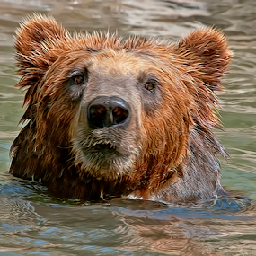 by Shelly Wetzel - Animals Other Mammals ( brown bear )