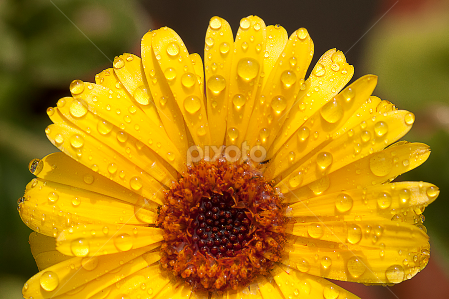 by Bharat Dudeja - Nature Up Close Flowers - 2011-2013 ( macro, nature, water droplets, garden, flower )