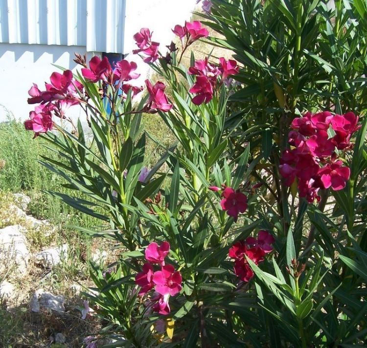 flora italiana plants of italy nerium oleander. Black Bedroom Furniture Sets. Home Design Ideas