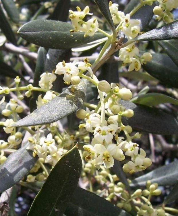 flora italiana plants of italy olea europaea var europaea. Black Bedroom Furniture Sets. Home Design Ideas