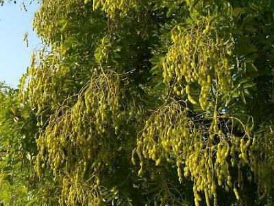 「Styphnolobium japonicum」の画像検索結果