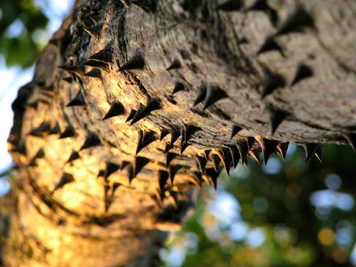 Beware Of Tree. Palo Borracho