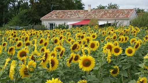 gite-la-grange-les-grandes-chaumes-17700-surgeres-tournesols