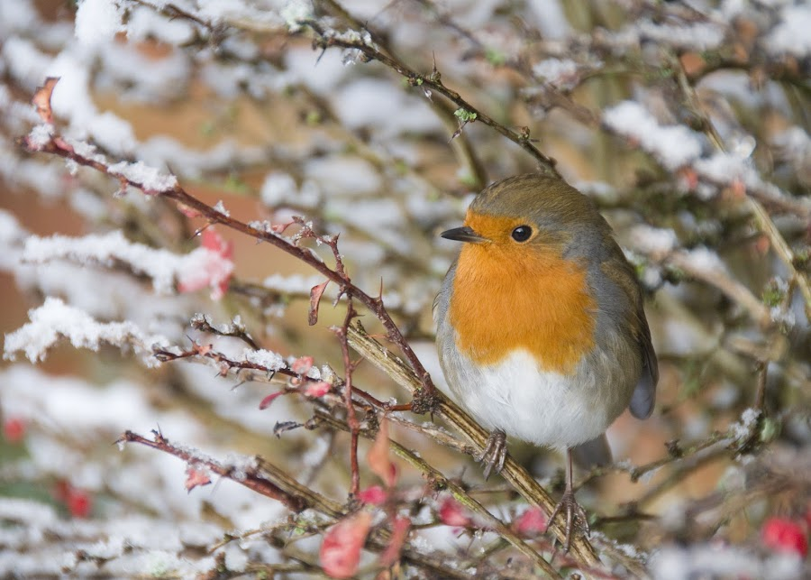 A Winter Robin by Peter Hall - Animals Birds