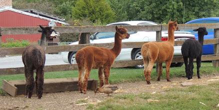 Photo: Alpacas. . .Gettysburg Farm Thousand Trails - Outdoor World