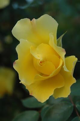 Rosa del mio giardino di amaletti