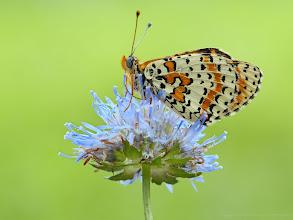 Photo: Mélitée orangée, Melitaea didyma, Spotted fritillary http://lepidoptera-butterflies.blogspot.fr/