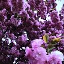 Kwanza flowering cherry