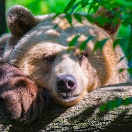 Lazy Bear by Lajos E - Animals Other Mammals ( calm, bear, europe, green, log, woods, portrait, arctos, resting, european, tree, ursus, brown, lazy, head,  )