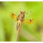 Palpopleura sexmaculata 六斑曲緣蜻