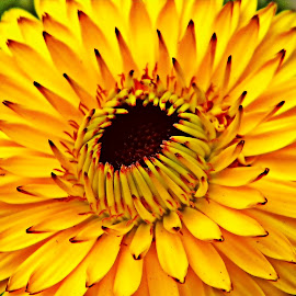 Yellow Calendula by Saptak Banerjee - Flowers Single Flower ( green, colors, yellow, living creatures, insects, daily life, my, reptiles, calendula, shapes geometric patterns, nature, backyard, flowers, garden, flower,  )