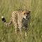 Cheetah head on-3667.jpg
