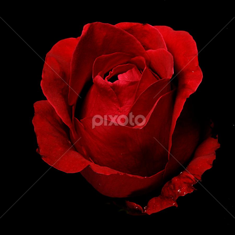 Romantic Rose by Cristobal Garciaferro Rubio - Nature Up Close Flowers - 2011-2013 ( rose, roses, flowers, flower, petal )