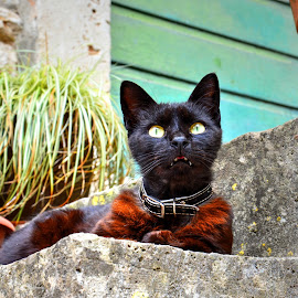 Street cat by Vedrana Vidovic - Animals - Cats Portraits ( croatia, nikon, flowers, cat, scales )