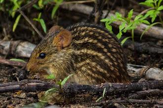 Photo: A beautiful mouse feeding on the ground; Um belo ratinho alimentando-se no solo.