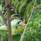 Magpie Tanager