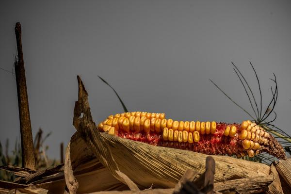 Autunno di grano di Navarro