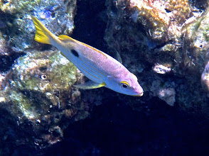 Photo: Ehrenberg's blackspot snapper