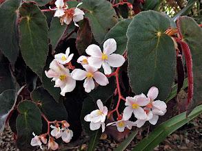 Photo: blooming 'Ramirez' begonia